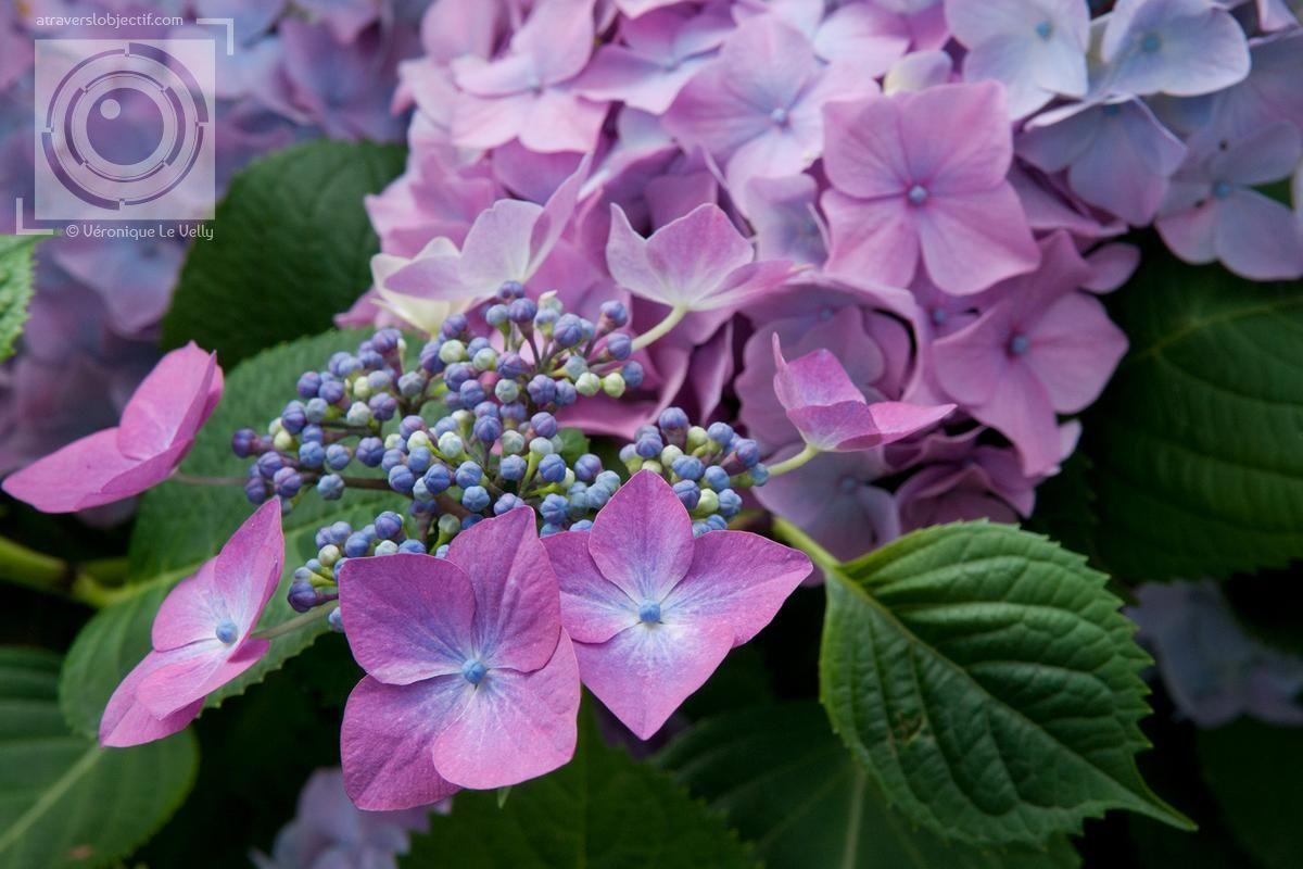 Fleurs D Hortensias Violettes Petales De Fleurs Bleu Rose Massif D