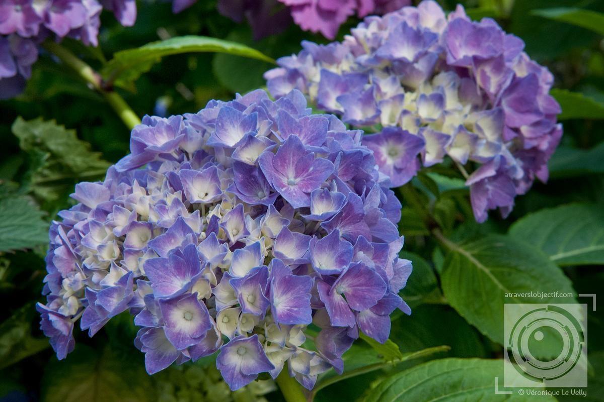 Fleurs D Hortensias Violettes Bouquet Multicolores Jacinthes Roses Et